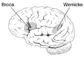 Між словником рідної мови та центром мовлення є дуже міцний нейронний зв'язок